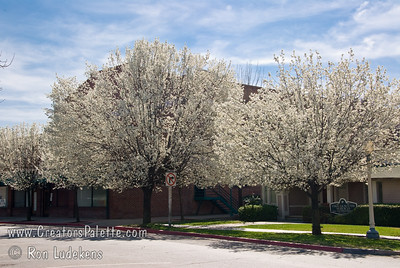 Calleryana Flowering Pear around the Oval in front of Rainbow Bakery Building in downtown Visalia, CA.  The shape and growth habit looks like Bradford.