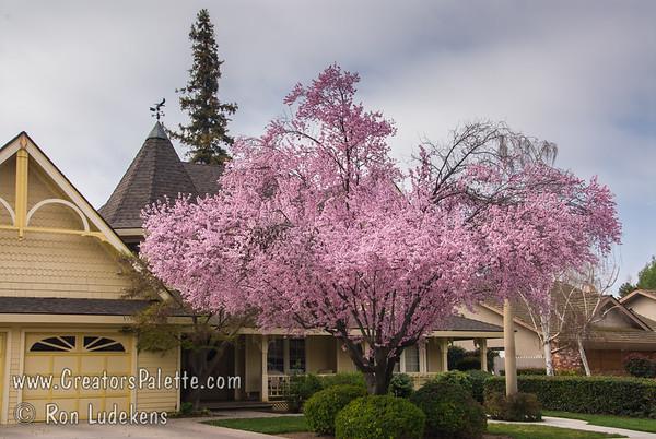 Spring Bloom - Krauter Vesuvius Flowering PLum