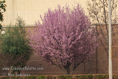 Spring bloom on flowering plum in front of Gottschalks on Mooney Blvd - Visalia