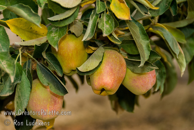 Anna Apple (Malus sp.)<br /> Large. Light greenish-yellow skin with slight red blush.  Sweet, slightly tart, crisp, creamy white flesh.  Ripens late June to early July.  A remarkable low chilling selection especially suited for places like Southern California, low desert areas and even parts of Hawaii. 200-300 hours chilling.