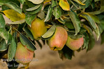 "Anna Apple - Malus sp. : These photo galleries have been provided to allow Nurseries and other plant enthusiasts obtain quality photos for your websites and printed publications.  Only you know the look and feel you want to obtain, so it is best that you select the photos that work best for your application as opposed to a L.E. Cooke Co staff person choosing for you.  Select the photo, click on ""buy this photo"" then select ""Downloads"".  There is a nominal cost for the file to support this website."