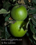 "Granny Smith Spur Apple - Malus sp. : These photo galleries have been provided to allow Nurseries and other plant enthusiasts obtain quality photos for your websites and printed publications.  Only you know the look and feel you want to obtain, so it is best that you select the photos that work best for your application as opposed to a L.E. Cooke Co staff person choosing for you.  Select the photo, click on ""buy this photo"" then select ""Downloads"".  There is a nominal cost for the file to support this website."