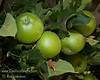 Granny Smith Spur Apple (Malus sp.)<br /> Large, excellent apple for eating, cooking and sauce.  Skin shades of green with occasional light striping.  Flesh is firm, sweet/tart.  Apples grow on spurs inside the tree making it an excellent choice for hot summers.  Does well in cold climates if adequate length of season.  Requires 400 hours of chilling.  Ripens: September to late October.  Tree is naturally semi-dwarf growing.