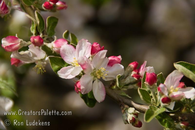 Granny Smith Spur Apple (Malus sp.)<br /> Spring bloom.