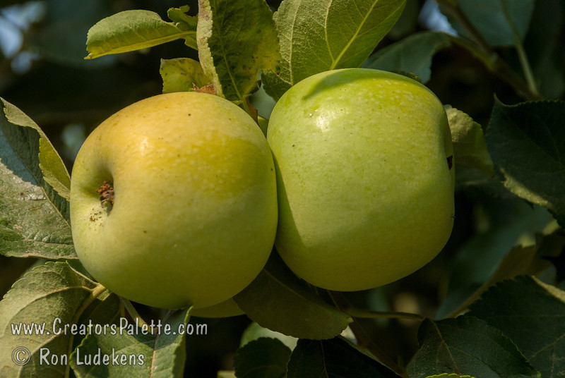 July Golden Apple (Malus sp.)<br /> Early ripening makes this apple unique and well suited for hot summer climates where early ripening beats the summer heat. Large.  Golden yellow.  Crisp and delicious.  An excellent Yellow Delicious type apple. Requires 600-700 hours of chill below 45º F. Ripens: 45-60 days earlier than the Yellow Delicious in Early July. Grows to height of 20 feet with a spread of 20-25 feet. Cold Hardy to U.S.D.A. Zone 6.