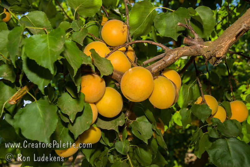 Blenheim Apricot, Royal Apricot (Prunus armeniaca sp.)<br /> Extremely popular.  Medium to large.  Skin soft yellow with orange cheek.  Flesh pale orange, juicy; flavor delicious.  Equally valuable for canning and drying.  Ripens: Late June to Early July. 400-500 hour chilling required.