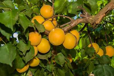 Blenheim Apricot (Prunus armeniaca sp.) Extremely popular.  Medium to large.  Skin soft yellow with orange cheek.  Flesh pale orange, juicy; flavor delicious.  Equally valuable for canning and drying.  Ripens: Late June to Early July. 400-500 hour chilling required.