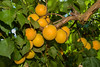 Blenheim Apricot (Prunus armeniaca sp.)<br /> Extremely popular.  Medium to large.  Skin soft yellow with orange cheek.  Flesh pale orange, juicy; flavor delicious.  Equally valuable for canning and drying.  Ripens: Late June to Early July. 400-500 hour chilling required.