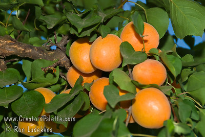 Chinese Apricot (also known as Mormon Apricot) - Prunus armeniaca sp. Beautiful golden fruit and flavorful flesh.  Medium sized. Sweet edible pit.  Heavy bearer.   Frost resistant & very cold hardy.  Ripens late June to early July.  700 hours chilling required.