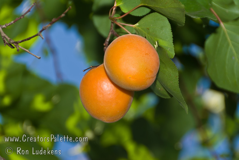Chinese Apricot (also known as Mormon Apricot) - Prunus armeniaca sp.<br /> Beautiful golden fruit and flavorful flesh.  Medium sized. Sweet edible pit.  Heavy bearer.   Frost resistant & very cold hardy.  Ripens late June to early July.  700 hours chilling required.