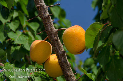 Flavor Giant Apricot (Prunus armeniaca sp.) Heavy crops of extremely large, sweet-tart, flavorful fruit.  Orange skin with red blush.  Yellow flesh. Self Fertile.  Ripens: Mid May to Early June. Requires 500 hours chilling below 45º F. Cold hardy to U.S.D.A.  Zone 7.