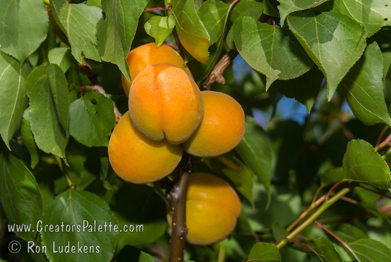 Garden Annie Apricot (Prunus armeniaca sp.)<br /> Medium to large. Flesh is firm, but juicy. Excellent quality. Can fully tree ripen without getting too soft.  Consistent producer. Tree may be kept at 6-8' with pruning.  Self Fertile. Semi-Freestone Ripens: Early June.  Requires 300-400 hours chilling below 45º F. Cold hardy to U.S.D.A.  Zone 7.