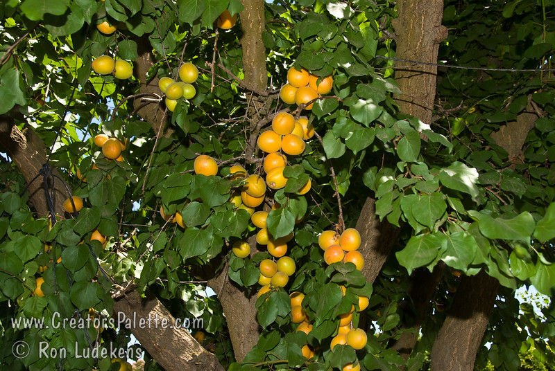 Harcot Apricot - Prunus armeniaca sp.<br /> In my opinion, one of the best apricots. Large fruit.  Yellow-orange skin.  Sweet, juicy, rich flavor.  A variety perfectly suited for colder areas - bred in Canada with a frost hardy late bloom.  Resists brown rot and perennial canker.  Ripens mid-June in Central California.  Requires around 700 hours chilling.