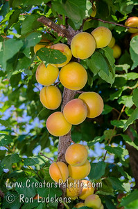 Katy Apricot - Prunus armeniaca sp. A great apricot for mild winter areas.  Fruit is large and very flavorful.  Good for fresh eating, drying or canning.  Freestone.  Self-fertile.  Ripens: June, 3-4 weeks before Royal.  350 hour chilling required.