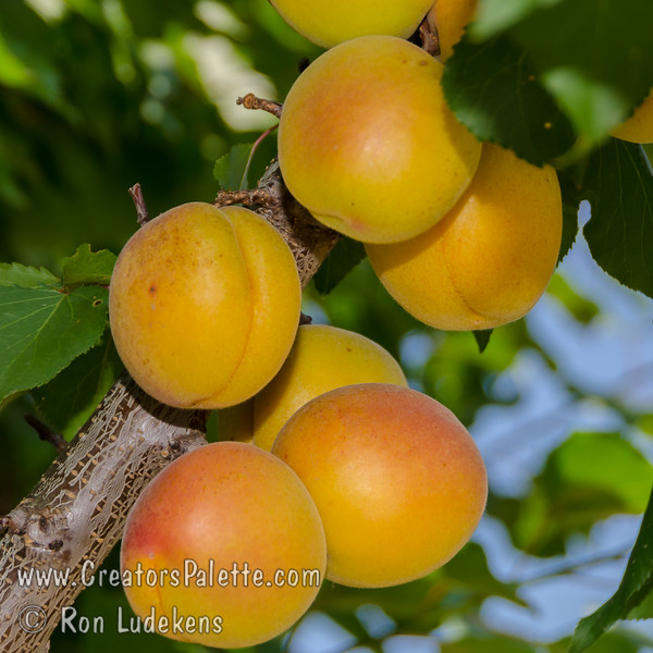 Katy Apricot - Prunus armeniaca sp.<br /> A great apricot for mild winter areas.  Fruit is large and very flavorful.  Good for fresh eating, drying or canning.  Freestone.  Self-fertile.  Ripens: June, 3-4 weeks before Royal.  350 hour chilling required.