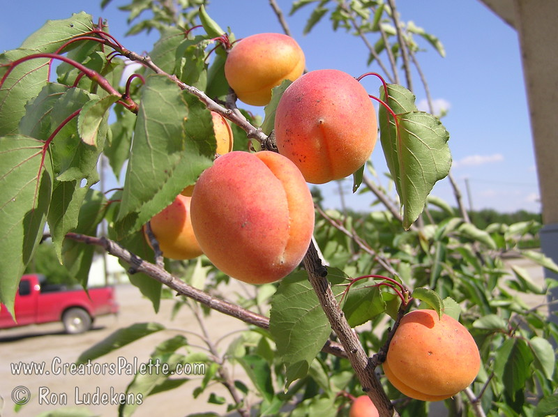 Katy Apricot - Prunus armeniaca sp.<br /> A great apricot for mild winter areas.  Fruit is large and very flavorful.  Good for fresh eating, drying or canning.  Freestone.  Self-fertile.  Ripens: June, 3-4 weeks before Royal.  350 hour chilling required.<br /> This photo shows Katy bearing fruit on an EZ-Pick tree planted in a pot.