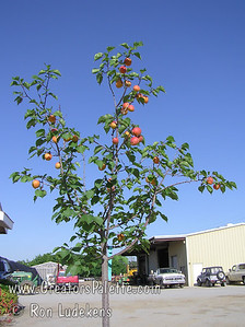 Katy Apricot - Prunus armeniaca sp. A great apricot for mild winter areas.  Fruit is large and very flavorful.  Good for fresh eating, drying or canning.  Freestone.  Self-fertile.  Ripens: June, 3-4 weeks before Royal.  350 hour chilling required. This photo shows Katy bearing fruit on an EZ-Pick tree just planted in a pot in February - just 4 months earlier.
