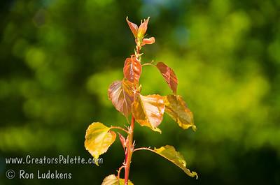 Lorna Apricot (Prunus armenisca sp.) New foliage tinted red.