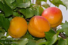 Lorna Apricot (Prunus armenisca sp.)  Sun exposure increases red blush.<br /> Large, early ripening apricot with firm, fine textured flesh.  Ripens: Mid to late May, just after Castlebright (the first commercial apricot of the season) but Lorna is twice as large.  Trees consistently produce generous harvests. Suitable for backyard gardens and commercial production. Self Fertile.  Freestone.    Requires 400-450 hours chilling below 45º F   Cold hardy to U.S.D.A.  Zone 7.  Breeder: Craig Ledbetter - USDA Parlier, CA