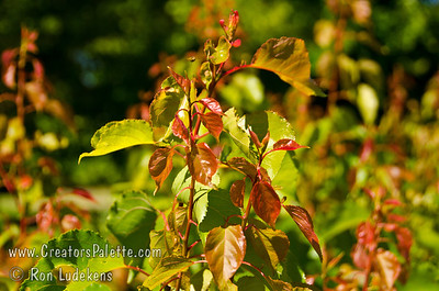 Lorna Apricot (Prunus armenisca sp.) New foliage tinted red.