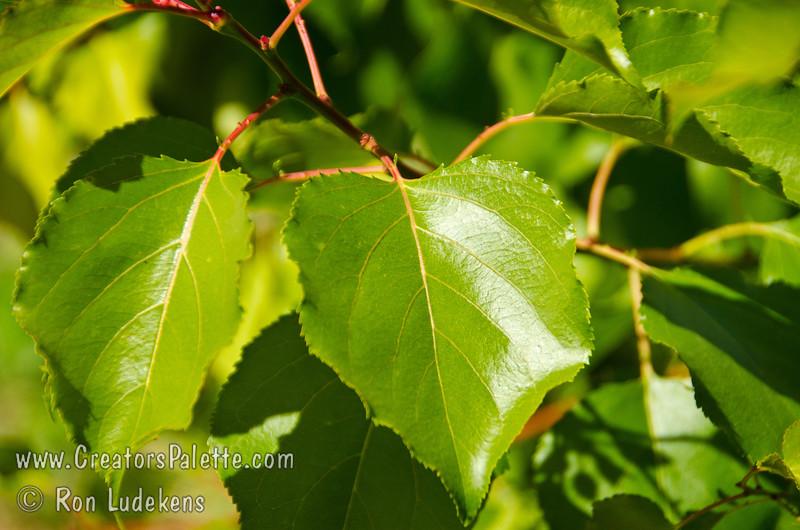 Lorna Apricot (Prunus armenisca sp.) Foliage.