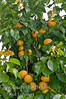 Lorna Apricot (Prunus armenisca sp.)<br /> Large, early ripening apricot with firm, fine textured flesh.  Ripens: Mid to late May, just after Castlebright (the first commercial apricot of the season) but Lorna is twice as large.  Trees consistently produce generous harvests. Suitable for backyard gardens and commercial production. Self Fertile.  Freestone.    Requires 400-450 hours chilling below 45º F   Cold hardy to U.S.D.A.  Zone 7.  Breeder: Craig Ledbetter - USDA Parlier, CA