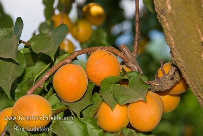 Moorpark Apricot - Prunus armeniaca 'Moorpark' One of my favorites for fresh eating, preserves, jams and pies.  Large fruit. Orange skin.  Firm, highly colored flesh, rich luscious flavor.  Ripens late June to early July in Central California.  Requires about 600-700 hours chilling.