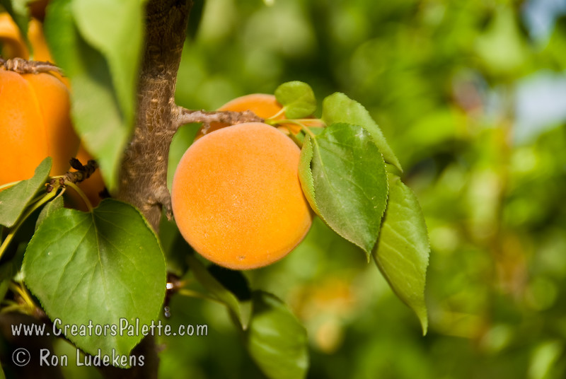 Moorpark Apricot - Prunus armeniaca 'Moorpark'<br /> One of my favorites for fresh eating, preserves, jams and pies.  Large fruit. Orange skin.  Firm, highly colored flesh, rich luscious flavor.  Ripens late June to early July in Central California.  Requires about 600-700 hours chilling.