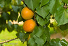 Puget Gold Apricot - Prunus armeniaca<br /> Large, somewhat elongated fruit.  Orange skin, orange flesh with a very good flavor.  Developed at Washingtosn State University.  Sets and sizes fruit in cool, frosty spring weather where other varieties fail.  Ripens: August.  Approximately 700 chilling ours required.