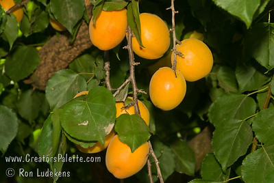 Puget Gold Apricot - Prunus armeniaca Large, somewhat elongated fruit.  Orange skin, orange flesh with a very good flavor.  Developed at Washingtosn State University.  Sets and sizes fruit in cool, frosty spring weather where other varieties fail.  Ripens: August.  Approximately 700 chilling ours required.