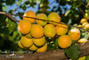Royal Apricot (Prunus armeniaca sp.)<br /> Extremely popular.  Medium to large.  Skin soft yellow with orange cheek.  Flesh pale orange, juicy; flavor delicious.  Equally valuable for canning and drying.  Ripens: Late June to Early July. 400-500 hour chilling required.