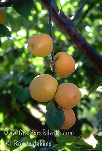 Royal Apricot (Prunus armeniaca sp.) Extremely popular.  Medium to large.  Skin soft yellow with orange cheek.  Flesh pale orange, juicy; flavor delicious.  Equally valuable for canning and drying.  Ripens: Late June to Early July. 400-500 hour chilling required.