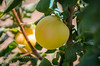Shaa-Kar Pareh Apricot (Prunus armeniaca sp.)<br /> A medium to large sized apricot from Iran.  Light yellow-white skin with red-pink blush.  Light gold flesh.  Juicy, very sweet taste with a texture more like a plum.  Ripens: Late May to Mid-June in Central California. Requires 350-450 chill hours.