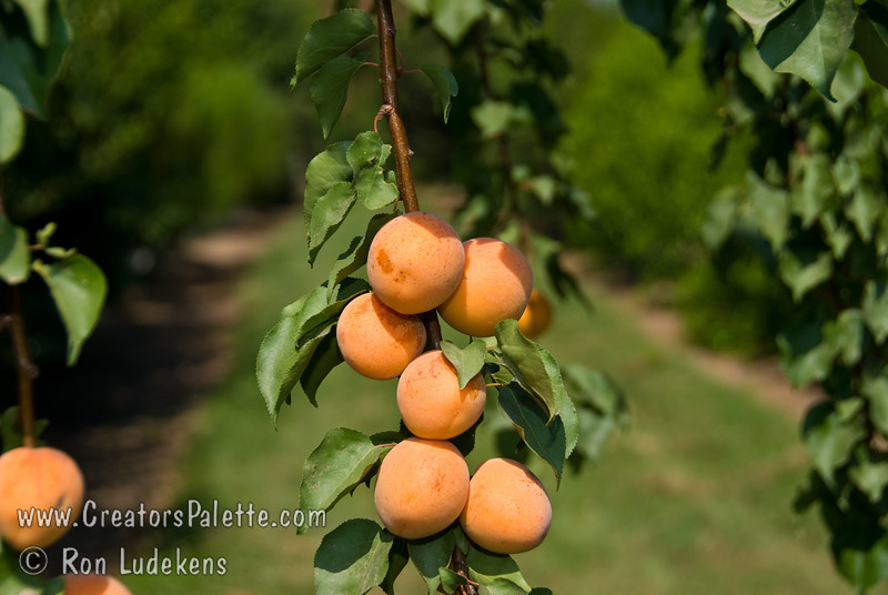 Tropic Gold Apricot - Prunus armeniaca sp.<br /> Medium to large. Skin yellow with orange cheek. Firm, juicy, excellent tasting, orange flesh. Also good for canning and dehydrating. Self- fertile. Appears to be a good apricot for mild winter areas. Fruits every year in Camarillo, California when Blenheim does not.  Requires 350 hours chilling below 45ºF.  Ripens: Late June to Early July.  Cold Hardy to U.S.D.A. Zone 7.