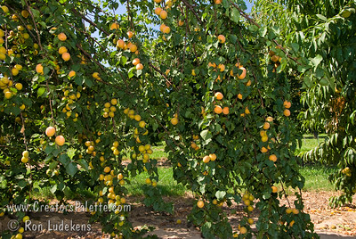 Tropic Gold Apricot Loaded and Weeping