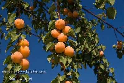 Tropic Gold Apricots