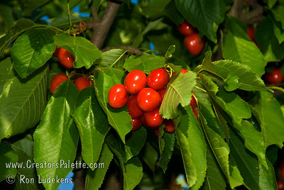 Compact Stella Cherry - Prunus avium sp. Large fruit.  Dark red skin, turning nearly black when fully ripe.  Firm, sweet, dark red flesh with good flavor and texture.  Has all the outstanding characteristics of Stella but in a smaller growing tree.  Mature height 10-12 feet.  Resistant to cracking, appears to be less affected by many problems associated with rain near harvest time compared to other varieties.  Tree bears at a young age.  Self-fertile.  Good pollinizer for all sweet cherries.  Ripens: Mid-season, slightly later than Stella.  Requires 700-800 hours chilling.
