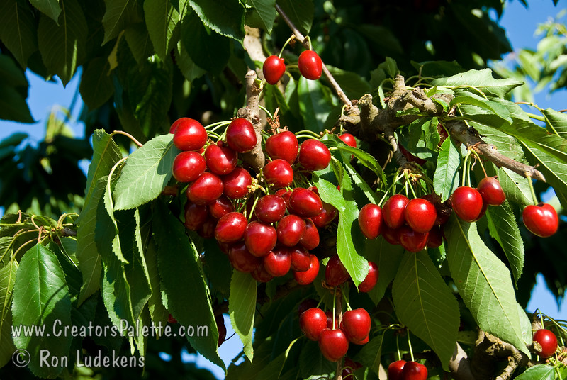 Compact Stella Cherry - Prunus avium sp.<br /> Large fruit.  Dark red skin, turning nearly black when fully ripe.  Firm, sweet, dark red flesh with good flavor and texture.  Has all the outstanding characteristics of Stella but in a smaller growing tree.  Mature height 10-12 feet.  Resistant to cracking, appears to be less affected by many problems associated with rain near harvest time compared to other varieties.  Tree bears at a young age.  Self-fertile.  Good pollinizer for all sweet cherries.  Ripens: Mid-season, slightly later than Stella.  Requires 700-800 hours chilling.