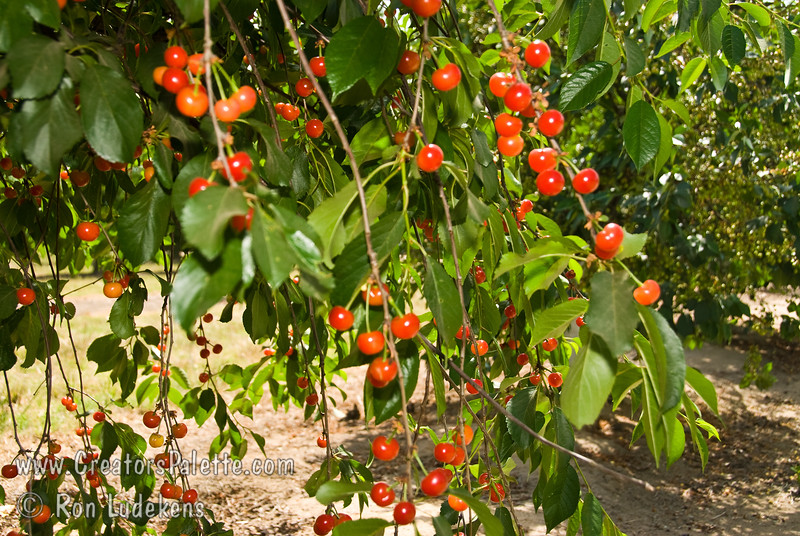 Early Richmond Cherry - Prunus cerasus sp.<br /> An excellent pie cherry (sour cherry) with medium to small fruit.  Red skin.  Tart.  suitable for some areas of Southern California.  Self-fertile.  Ripens in June.  Requires approximately 800 hours chilling.