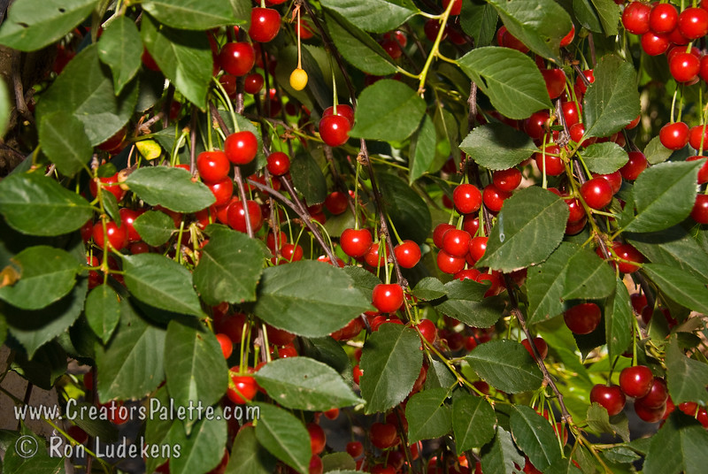 nglish Morello Cherry - Prunus cerasus sp.<br /> Excellent cherry for pies.  Medium sized fruit.  Red.  Tart flavor.  A good pollinizer for other cherries.  Heavy bearing.  Performs well in areas of less chill such as Southern California.  Requires about 400 hours chilling.  Ripens late season.