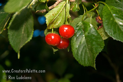 Kansas Sweet Cherry - Prunus cerasus Large.  Red skin.  Fresh semi-sweet and juicy.  Vigorous growth habit.  Self-fertile.  Relatively low chill cherry allowing it to perform in places like Southern California.  Approximately 500-600 hours chilling required.  Ripens: Late Season.