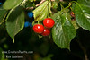 Kansas Sweet Cherry - Prunus cerasus<br /> Large.  Red skin.  Fresh semi-sweet and juicy.  Vigorous growth habit.  Self-fertile.  Relatively low chill cherry allowing it to perform in places like Southern California.  Approximately 500-600 hours chilling required.  Ripens: Late Season.