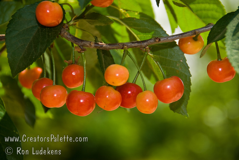 Kansas Sweet Cherry - Prunus cerasus<br /> Large.  Red skin.  Fresh semi-sweet and juicy.  Vigorous growth habit.  Self-fertile.  Relatively low chill cherry allowing it to perform in places like Southern California.  Approximately 500-600 hours chilling required.  Ripens: Late Season.<br /> Photo is about 1 week early from harvest.