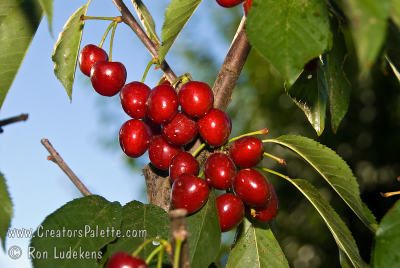 "Lapins Cherry - Prunus avium sp.<br /> I like to call this the ""Self-Fertile Bing"" since no one knows the name Lapins.  Fruit is similar to the Bing Cherry but, unlike the Bing, this tree is self-fertile - not requiring a pollinizer.<br /> Large fruit.  Dark red skin.  Purplish red flesh is firm and sweet.  Resistant to cracking.  Good pollinizer for other sweet cherries.  Developed in Canada.  Ripens Late Season, 1-2 weeks after Bing.  Requires approximately 900 hours chilling."