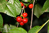 Montmorency Cherry - Prunus cerasus<br /> The most popular pie and dessert cherry in North America.  Large fruit.  Bright red skin.  Firm yellow flesh.  Very cold hardy and disease resistant.  Heavy producer.  A sour cherry excellent for canning and pies.  Self-fertile.  Good pollinizer.  Ripens: Late Season.  Requires approximately 900 hours chilling.