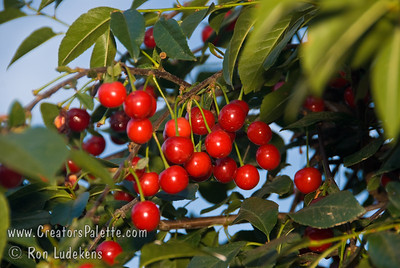 North Star Cherry - Prunus cerasus sp. An outstanding pie cherry (sour cherry) in a smaller package.  Tree naturally only grows to 8-10 feet.  Fruit is medium sized, bright red deepening to mahogany skin.  Yellow, juicy, tender flesh.  Very productive.  Self fertile.  Resistant to leaf spot and brown rot.  Very cold hardy.  Requires around 1000 hours of chilling.  Ripens late season.