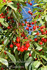 North Star Cherry - Prunus cerasus sp.<br /> An outstanding pie cherry (sour cherry) in a smaller package.  Tree naturally only grows to 8-10 feet.  Fruit is medium sized, bright red deepening to mahogany skin.  Yellow, juicy, tender flesh.  Very productive.  Self fertile.  Resistant to leaf spot and brown rot.  Very cold hardy.  Requires around 1000 hours of chilling.  Ripens late season.