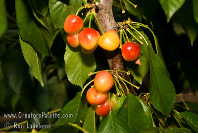 Rainier Cherry - Prunus avium sp. Premium quality sweet cherry.  Yellow blushed with red.  The highest value cherry produced in the Pacific Northwest.  Medium to large.  Fine textured, very firm, yellowish-white flesh.  Has distinct flavor.  Tree is hardy.  Bears early and heavy.  Resistant to cracking.  Needs pollinizer such as Van or Black Tartarian.  Good pollinizer for other sweet cherries.  Ripens: Mid season, three to six days after Bing.