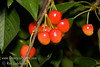 Royal Ann Cherry (Napoleon Cherry) - Prunus avium sp.<br /> Large cherry with creamy skin with red cheeks.  Cream flesh, sweet tart flavor.  A favorite for eating, canning and preserves.  Needs pollinizer such as Black Tartarian or Van but will not pollinate with Bing.<br /> Ripens: early to Mid Season.  Required around 900 hours chilling.
