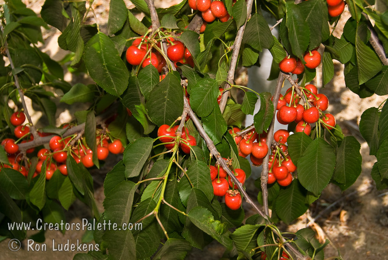Utah Giant Cherry - Prunus avium sp.<br /> Larger and firmer than Bing or Lambert.  Excellent flavor.  Blooms with Bing.  Continues firm, flavorful and good color when processed.  Western X Disease resistant.  Needs pollinizer.  Ripens: Mid-Season.  Requires approximately 1000 hours chilling.